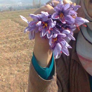 saffron-flower