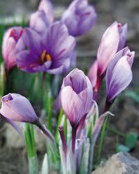 saffron6